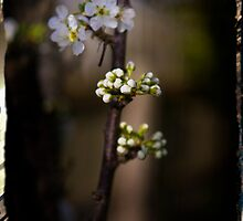 Spring Blossoms by Danielle Benson
