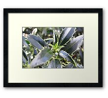 New holly leaves for Christmas Framed Print