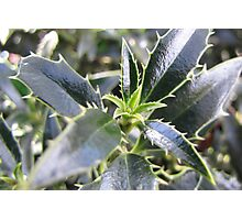 New holly leaves for Christmas Photographic Print