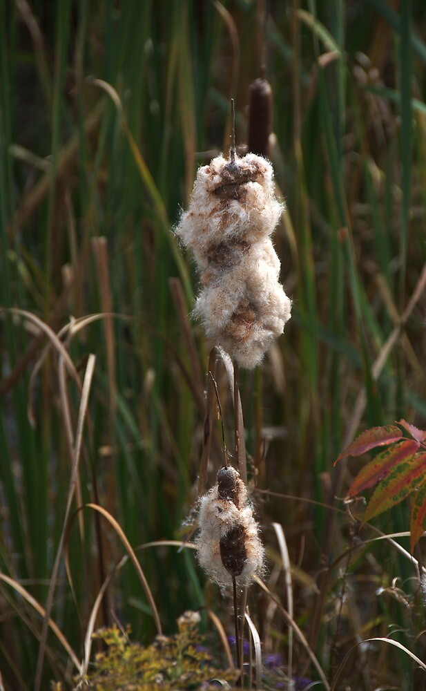 Cattails - Cottony Fluff by jules572