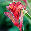 Red Kangaroo Paw by YellowGecko