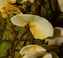 Fungi on dead tree. by John C McBain