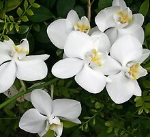 October Orchids by Robyn Williams