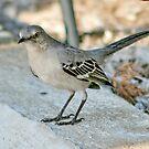 St.Louis Bird by AnnDixon