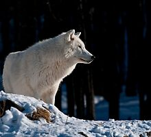Arctic Wolf by Michael Cummings