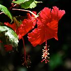 Hibiscus Flower by AJM71