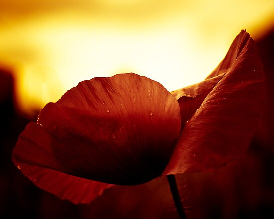 Golden Glow Poppie by Karen Havenaar