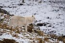 Arctic Wolf on Hill by Michael Cummings