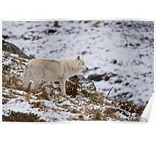 Arctic Wolf on Hill Poster