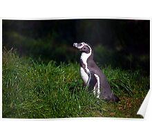 Humbolt Penguin Poster