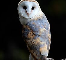 Barn Owl 2 by Norfolkimages