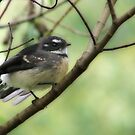 Grey Fantail (Rhipidura fuliginosa)  by Mary Trebilco