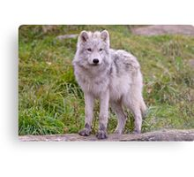 They're Growing - Arctic Wolf Pups  Metal Print