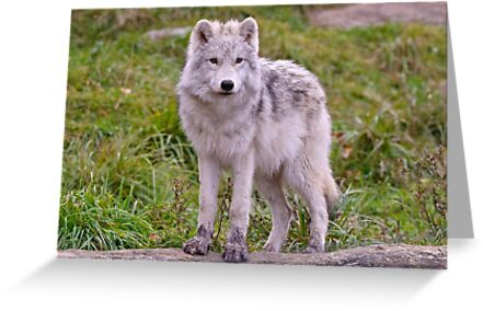 They're Growing - Arctic Wolf Pups  by Michael Cummings