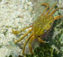 Carcinus Maenas Crab by Inimma