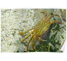 Carcinus Maenas Crab Poster