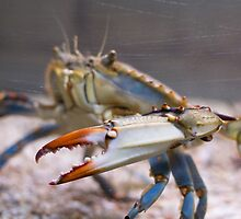 Atlantic Blue Crab Side by Inimma