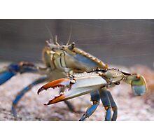 Atlantic Blue Crab Side Photographic Print
