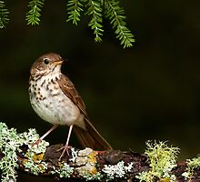 Hermit Thrush perching pretty by Daniel Cadieux