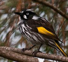 New Holland Honeyeater by Tom Newman