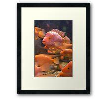 Amphilophus Citrinellus Fishes Framed Print