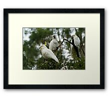 Cockatoos from Sherbrooke Forest, Mt Dandenong, Vic. Framed Print