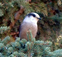 Canada Jay - Near Bragg Creek, Alberta by UnknownSpecies