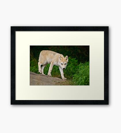 Arctic Wolf Pup on Rock Framed Print