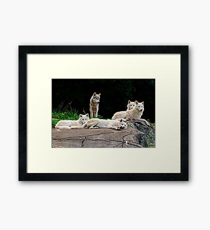 Arctic Wolf Pack Framed Print