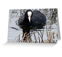 Coot (Fulica Atra) Greeting Card