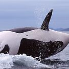 Female Killer Whale in Boundry Pass by Michael S Nolan