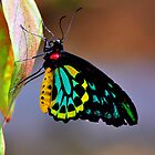 Cairns Birdwing Australian Butterfly by Davidsdigits