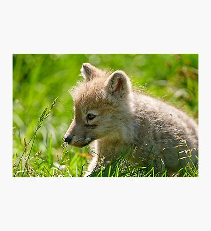 Just smelling the flowers _ Arctic Wolf Pup Photographic Print