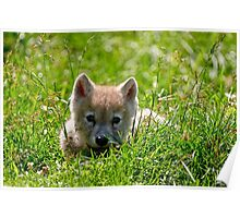 If they could only stay so young - Arctic Wolf Pup Poster