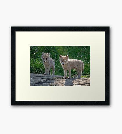 Arctic Wolf Pups  Framed Print
