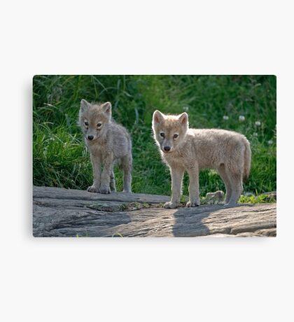 Arctic Wolf Pups  Canvas Print