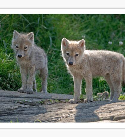 Arctic Wolf Pups  Sticker