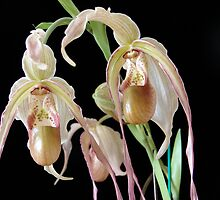 Phragmipedium (Phrag.) grande by David Galson