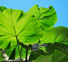 giant leaves  by Jeff Stroud
