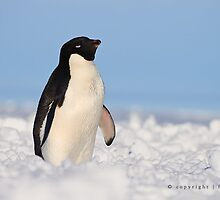Adelie Penguin by FrankPey