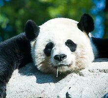 Yes I'm a Drooling Panda by Carol Bock