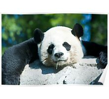 Yes I'm a Drooling Panda Poster