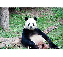 Giant Panda Resting Photographic Print