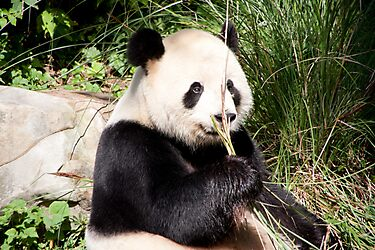 Giant Panda  by Carol Bock