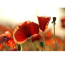 Poppy Petals Photographic Print