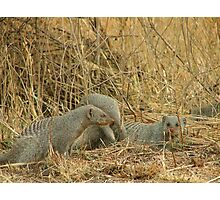 Mongoose Photographic Print