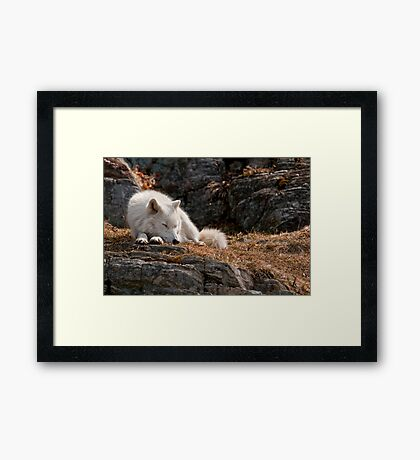 Sleeping Arctic Wolf Framed Print