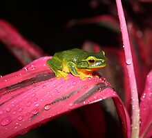 The Dainty Treefrog (Litoria gracilenta)2 by robmac