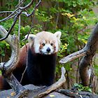 Red Panda by Carol Bock