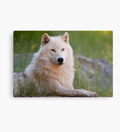 Arctic Wolf  Metal Print